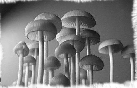 SPECIES AND STRAINS OF ENTEOGENIC PSILOCYBE MUSHROOMS